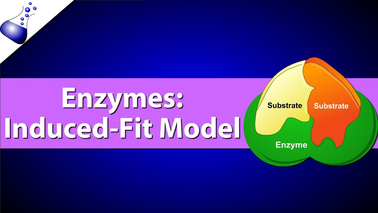 Enzymes the induced fit model youtube ccuart Image collections