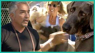 Weimaraner Dog Bites a Neighbor Twice   Cesar 911
