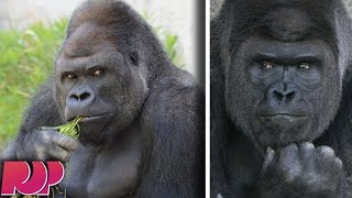 This Gorilla Is So Handsome That Women Are Flocking To See Him