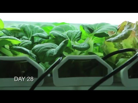 Farm to Classroom Cuisine: The Growth of ICE's Hydroponic Garden