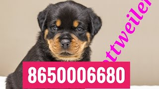 Dog House Rottweiler Puppies for sale Low Price  at 8650006680 Rohit Dog kennel  in Patna Bihar