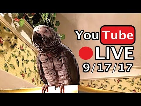 🔴🐦Einstein Parrot LIVE! 9/17/17 Talking, flying, and playing in the Bathroom