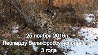 25 ноября 2016 г. Леопарду Великороссу исполняется 3 года