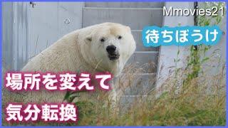 可愛い瞬き・見つけた時の反応ホッキョクグマ【リラ】と美しすぎる【ララ】 Polar Bears life