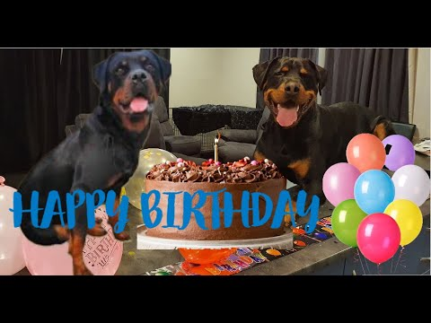 Roxy Birthday Celebration | Rottweiler Birthday party | Sprout Talking Part 1