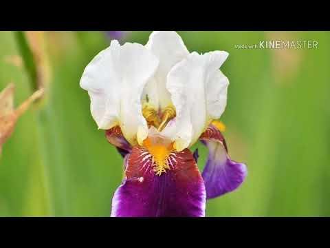 planta-para-jardins-Íris-sibirica-ou-flor-de-lis-da-sibéria