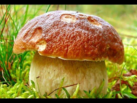 Новые грибные леса!Белые