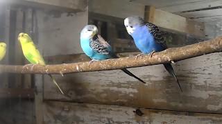 Приобретение новых самцов волнистых попугаев.
