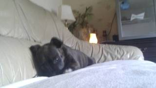 My Barking Staffordshire Bull Terrier Puppy.