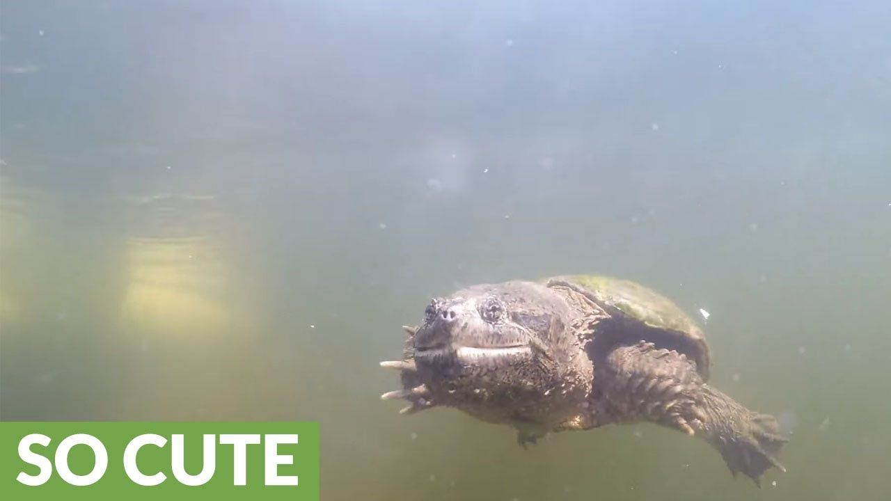 News Archives 2015 |Snapping Turtle Injuries Humans