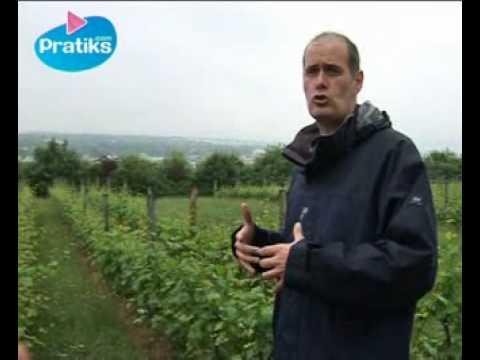 Comment tailler un pied de vigne doovi - Comment planter un pied de vigne video ...
