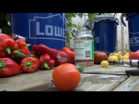 ➪ hybridized tomato taste test... WOW !! this is lemon sour!!