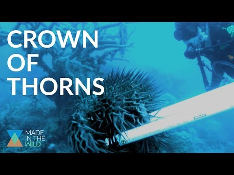 VENOMOUS STARFISH Are Eating The Great Barrier Reef Ft. Crown Of Thorns Starfish