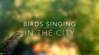Birds singing in the city