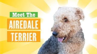 Meet The Airedale Terrier