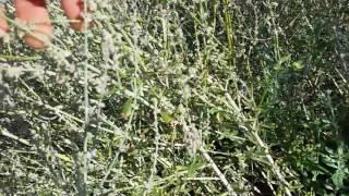 Sagebrush / Artemesia