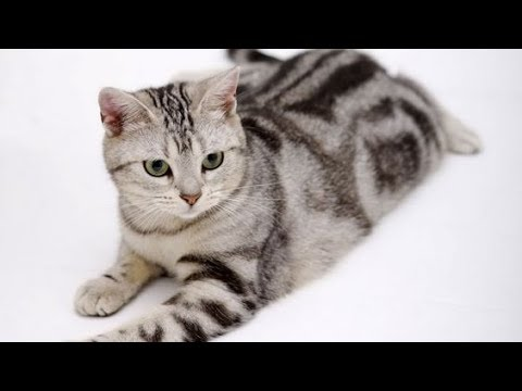 How to remove cat hair!!! (American Shorthair) video 2017