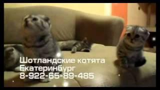 Шотландские котята в Екатеринбурге