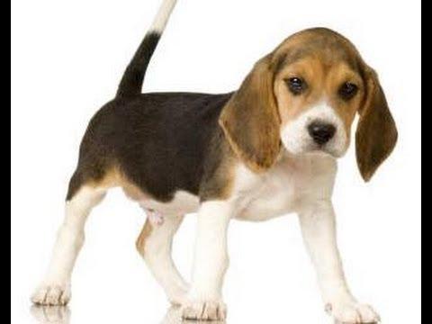 Green hill liberazione di cani di razza beagle video for Tequila e bonetti cane razza