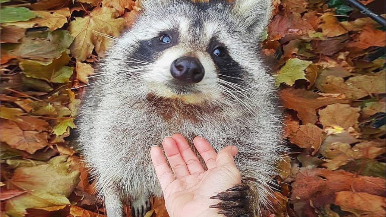 アライグマを助けて野生に帰したら、3年経った今でも会いに来るようになりました【動物 感動】