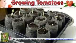How To Grow Heirloom Tomatoes & Prune Tomatoes