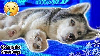 Oakley the Husky Dog  Walking in Circles | Surgery Updates