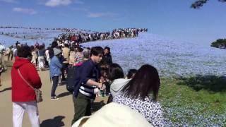 2017.4.23ひたち海浜公園〜〜〜〜ネモフィラの丘2 ネモフィラの丘 検索動画 28