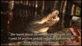 Alligator training using operant conditioning : a window in to crocodilian cognition