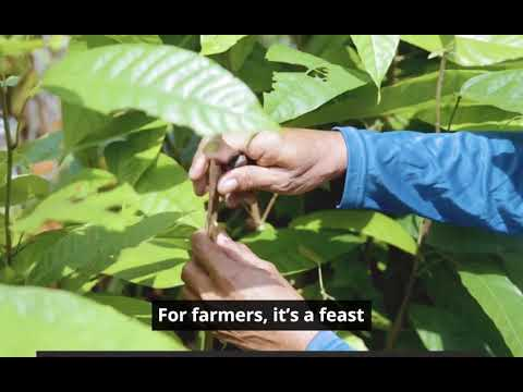 Philippines: The Cacao Song