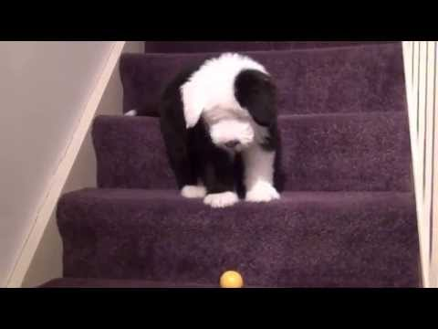 12 Week Old English Sheepdog puppy having fun! Cute Funny