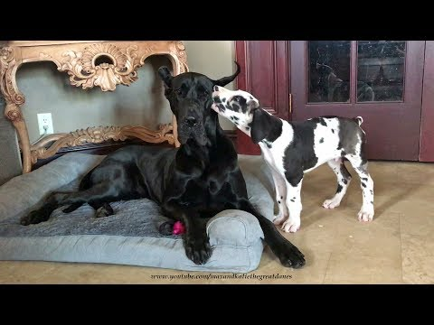 Talkative Great Dane Puppy Loves to Pester His Sister Dog