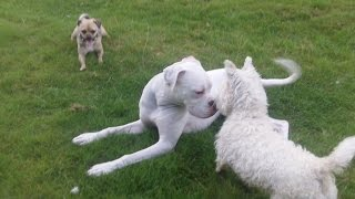 Jug Dog, Boxer, Bichon & Whw In A Hurry.