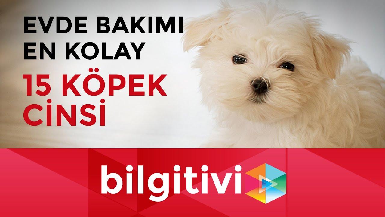 Evde Bakımı En Kolay 15 Köpek Cinsi Bilgi Tv Bilgitivicom Youtube