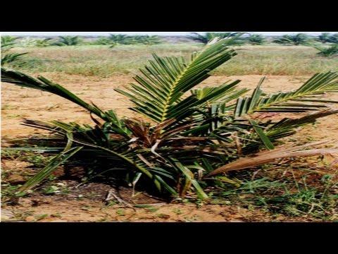 Curso Controle de Pragas e Doenças do Coqueiro - Podridão Seca da Folha