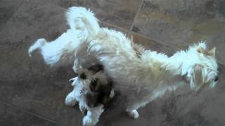 Jack Shiht Pees On Puppy's Head - Jack Russell Terrier & Shih Tzu Mix Khloe