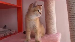 золотой британский котенок, мальчик  3 месяца