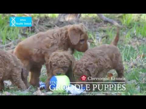 Chevromist Kennels Standard Groodle puppies