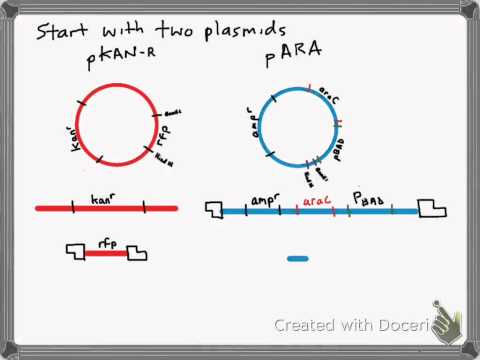 Interpreting the digest and ligation of the pKAN-R and pARA plasmids