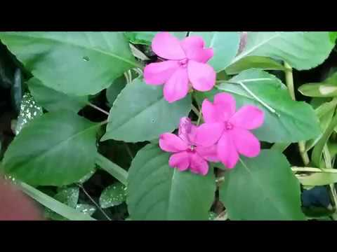 Collecting The Seeds Of Impatiens Walleriana Busy Lizzie Propagation By