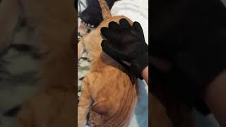 Перчатка для вычесывания шерсти животных. Вейра-союз