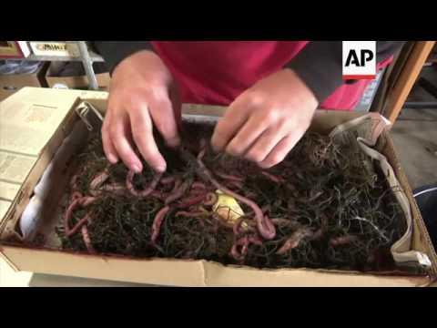 Shrinking Worm Harvest Upsets Fishing Business