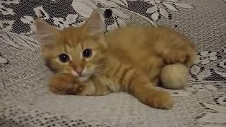 Забавные рыжие котята играют.Funny ginger kittens play.