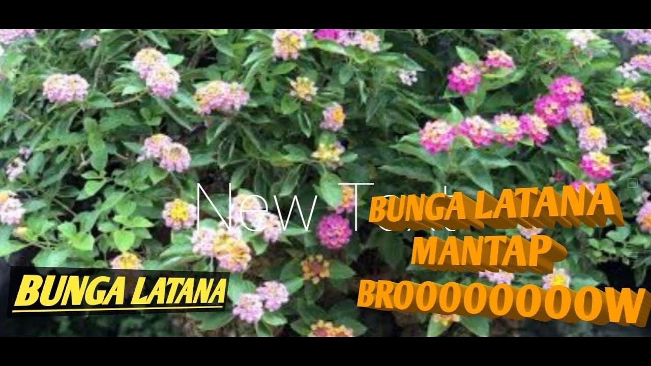 Download BUNGA LATANA