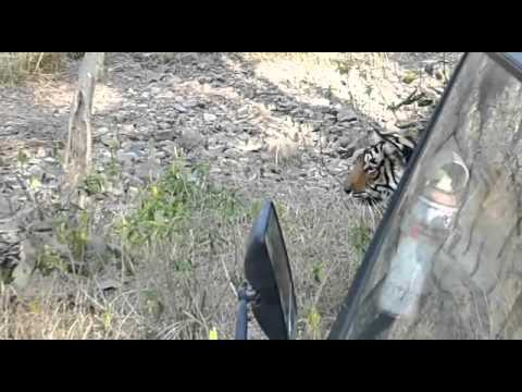 Live Wild tiger slowest walk towards the prey @Ranthambore National Park -Rajasthan- jungle safari