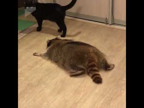 Fat raccoon plays with a cat