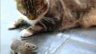 Мышь гоняет кота!