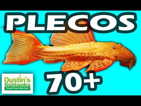 PLECOS 70+ Pleco Fish- Showing The L Plecos