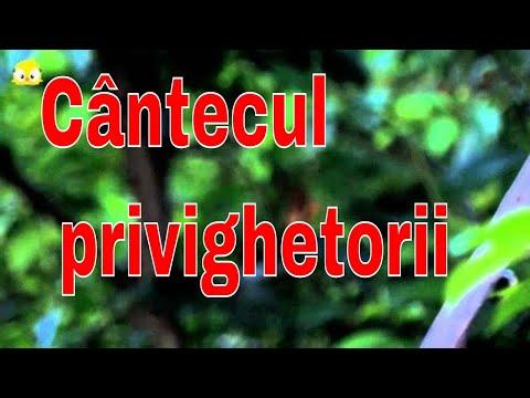 The beautiful song of Luscinia megarhynchos (Privighetoarea)