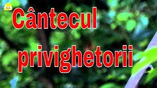 Download The beautiful song of Luscinia megarhynchos (Privighetoarea)