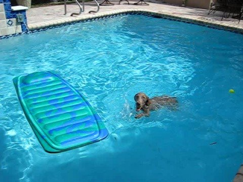 COCO the weimaraner playing in the pool